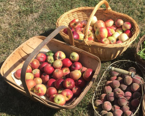 Cueillete pommes